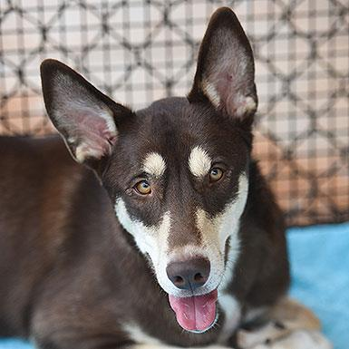 Adoptable Male Siberian Husky (short coat)