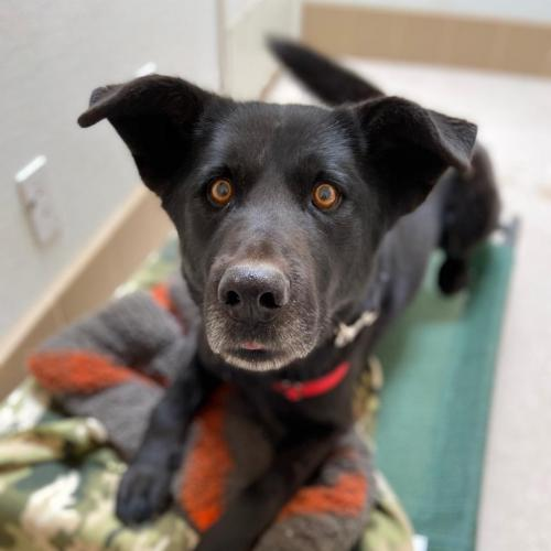 Adoptable Male Shepherd / Newfoundland Dog / Mixed (medium coat)