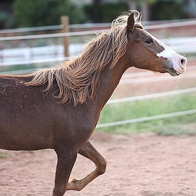 Adoptable Male Paso Fino