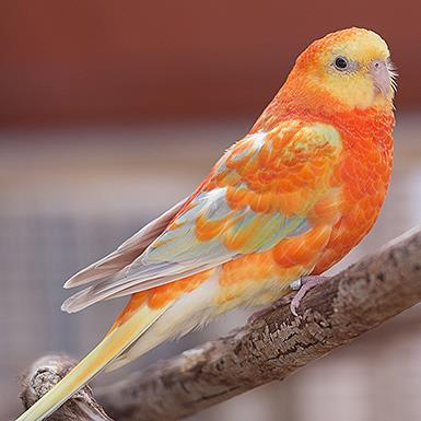 Adoptable Parakeet - Other
