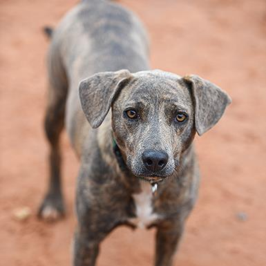 Adoptable Female Weimaraner / Hound / Mixed (short coat)