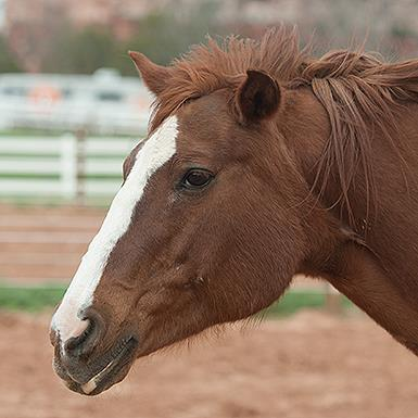 Adoptable Female Quarterhorse