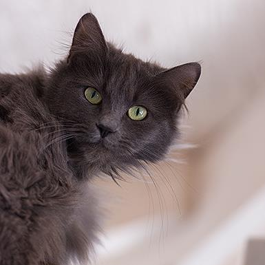 Adoptable Female Domestic Medium Hair