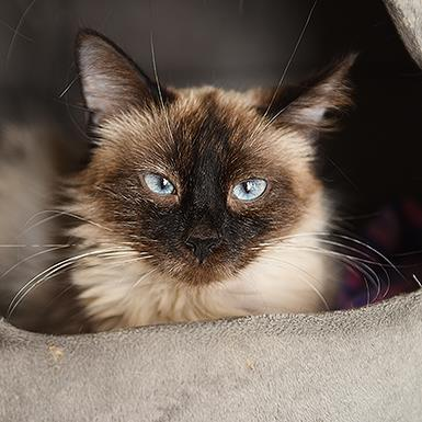 Adoptable Female Siamese / Domestic Short Hair / Mixed (short coat)