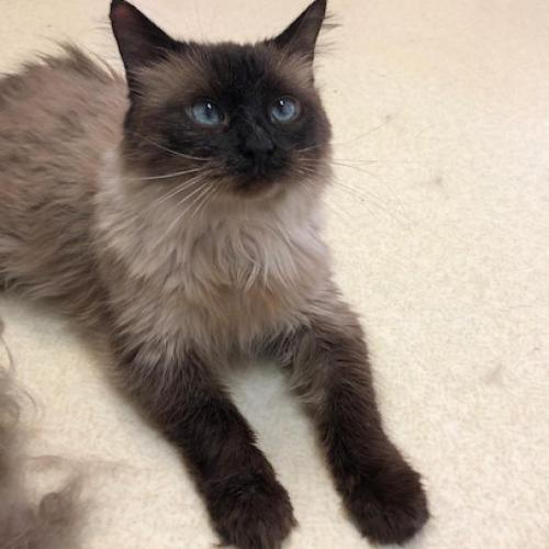 Adoptable Female Siamese / Domestic Long Hair / Mixed (short coat)