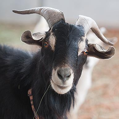 Adoptable Male Goat (medium coat)
