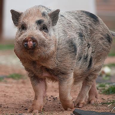 Adoptable Male Pig (short coat)