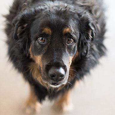 Adoptable Male Shepherd / Flat-coated Retriever / Mixed (short coat)