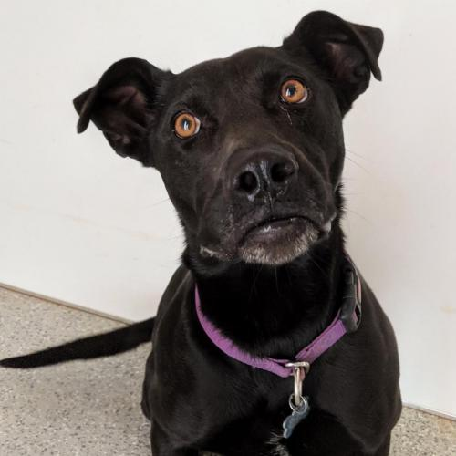 Adoptable Female Labrador Retriever / Shepherd / Mixed (medium coat)