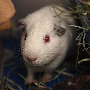 Adoptable Male Guinea Pig / Guinea Pig (short coat)