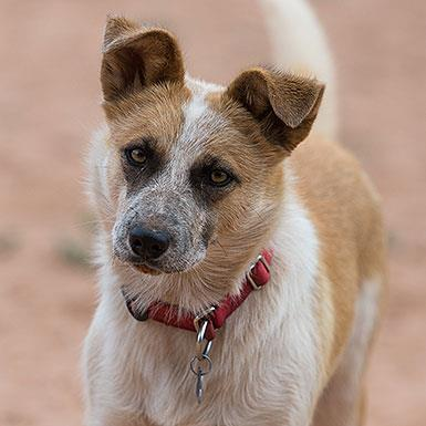 Adoptable Female Cattle Dog (short coat)
