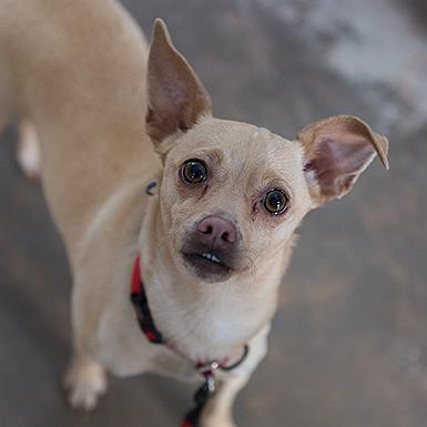 Adoptable Male Chihuahua (short coat)