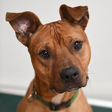 Adoptable Male American Pit Bull Terrier / Hound / Mixed (short coat)