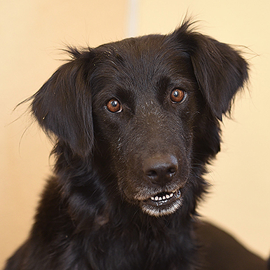 Flat Coated Retriever Rescue Available Dogs