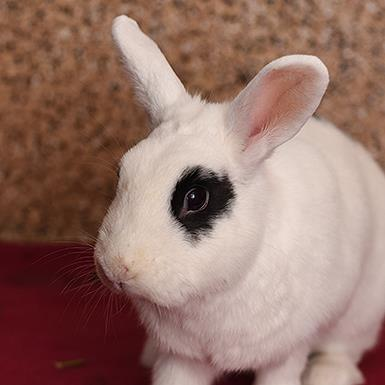 Adoptable Female Bunny Rabbit / English Spot (medium coat)