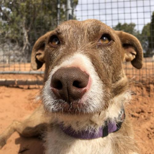 Adoptable Male Airedale Terrier / Catahoula Leopard Dog / Mixed (short coat)
