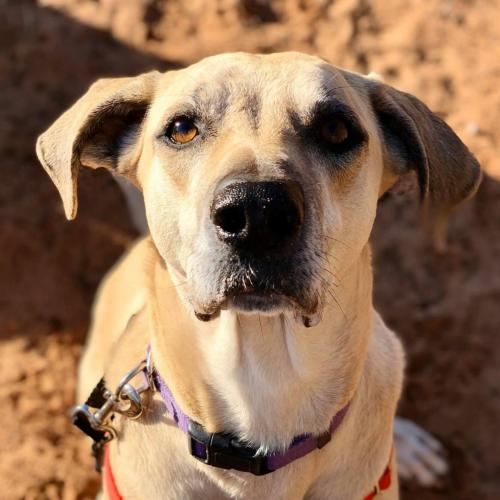 Adoptable Male Black Mouth Cur (short coat)