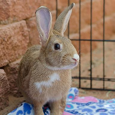 Adoptable Female Bunny Rabbit (medium coat)