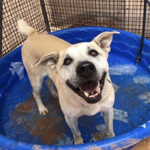 Adoptable Female Anatolian Shepherd (medium coat)