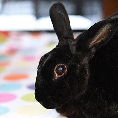 Adoptable Female Bunny Rabbit (short coat)