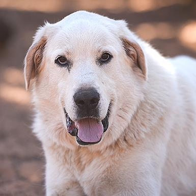 Adoptable Female Great Pyrenees (long coat)
