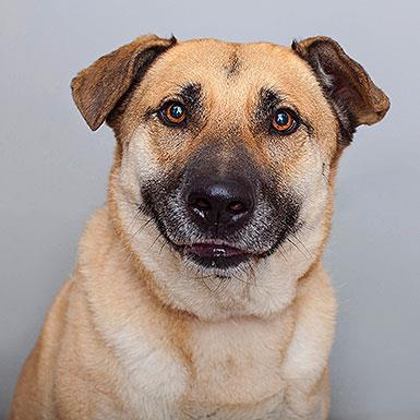 Adoptable Male Shepherd (medium coat)