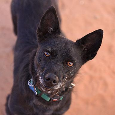 Adoptable Female Schipperke / Terrier / Mixed (medium coat)