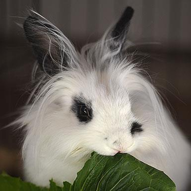Adoptable Male Bunny Rabbit / English Spot (long coat)