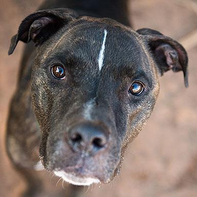 Adoptable Male Boxer / American Pit Bull Terrier / Mixed (short coat)