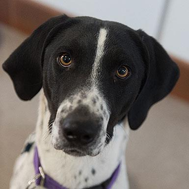 Adoptable Male Pointer (short coat)