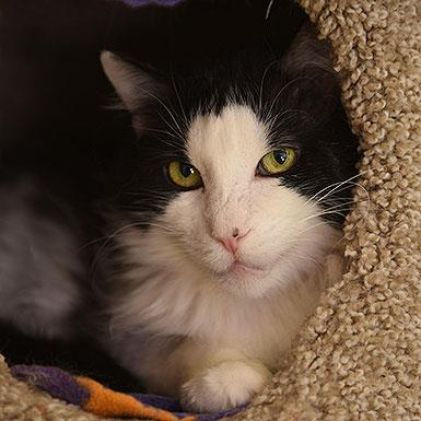 Adoptable Male Domestic Medium Hair (medium coat)