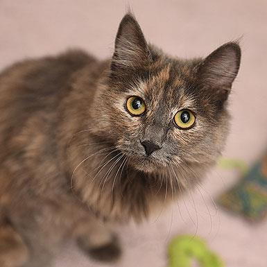 Adoptable Female Domestic Medium Hair (medium coat)