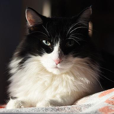 Adoptable Male Domestic Long Hair (short coat)