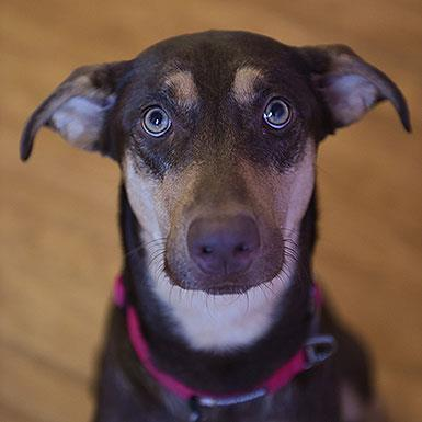 Adoptable Female Doberman Pinscher (medium coat)