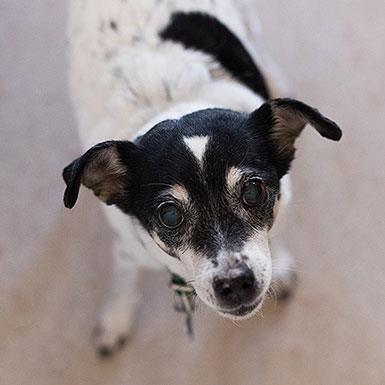 Adoptable Female Jack Russell Terrier (short coat)