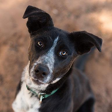Adoptable Female Border Collie (short coat)