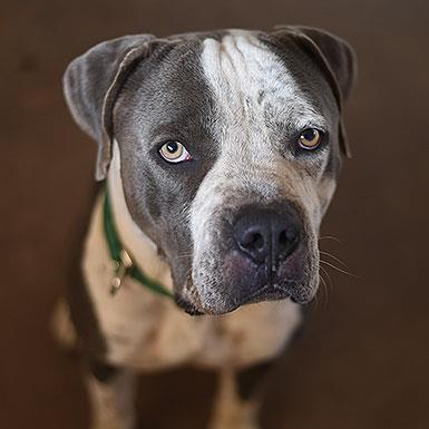 Adoptable Male American Pit Bull Terrier / Neapolitan Mastiff / Mixed