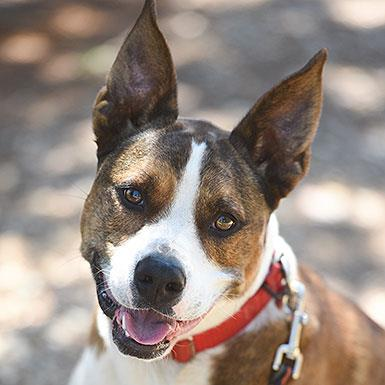 Adoptable Male Cattle Dog / American Pit Bull Terrier / Mixed