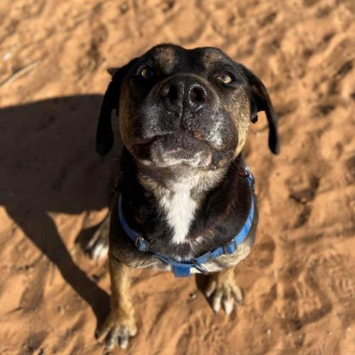Adoptable Male Rottweiler / American Pit Bull Terrier / Mixed