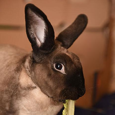 Adoptable Male Bunny Rabbit