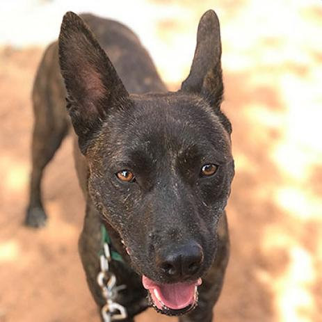 Adoptable Female German Shepherd Dog / Mixed
