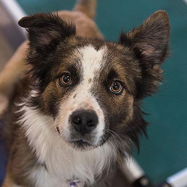 Adoptable Male Australian Shepherd