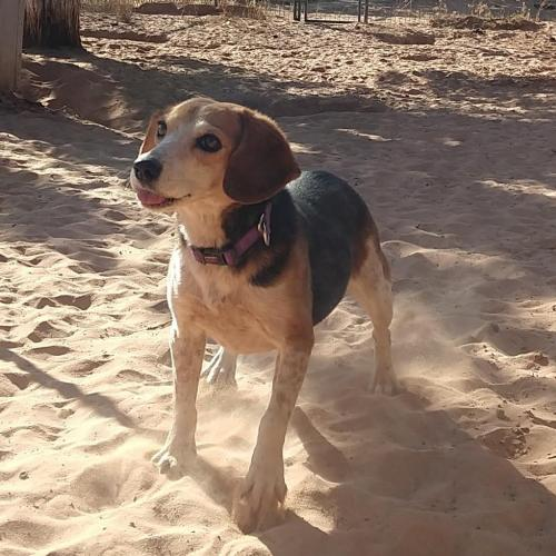 Adoptable Female Beagle
