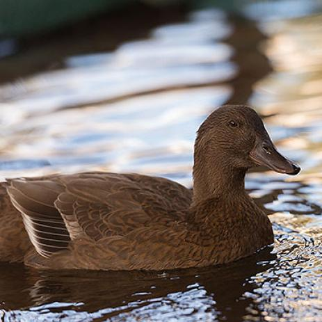 Adoptable Female Duck