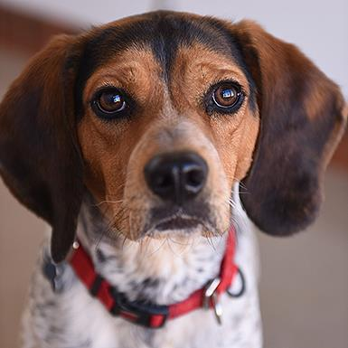 Adoptable Male Beagle