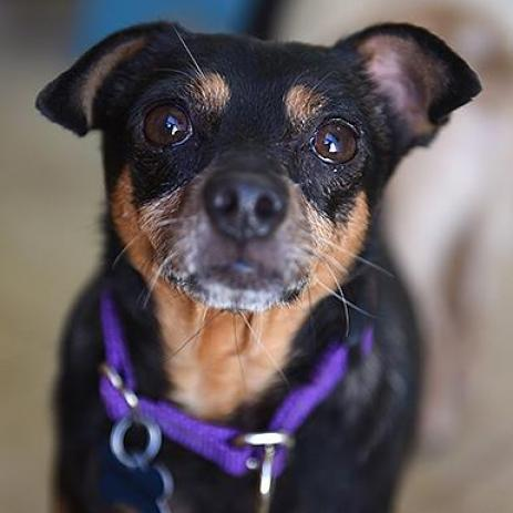 Adoptable Male Chihuahua