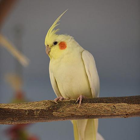Adoptable Male Cockatiel