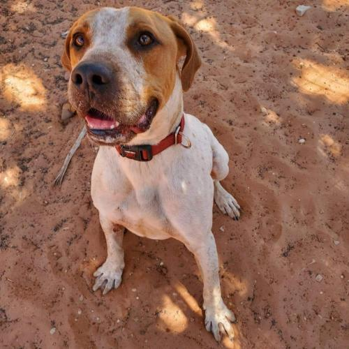 Adoptable Male Hound / Mixed