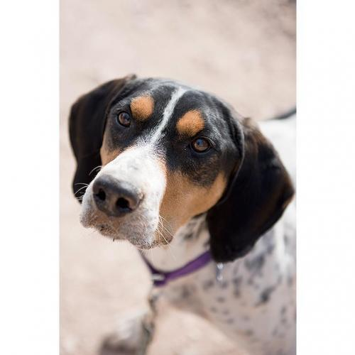 Adoptable Male Coonhound
