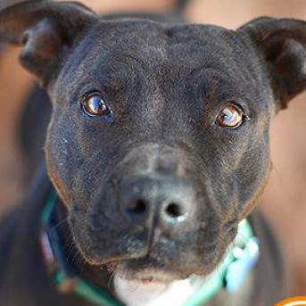 Adoptable Female American Pit Bull Terrier